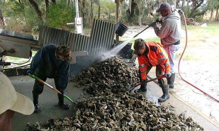 Maggioni Oystermen cleaning the day's wild-harvest.
