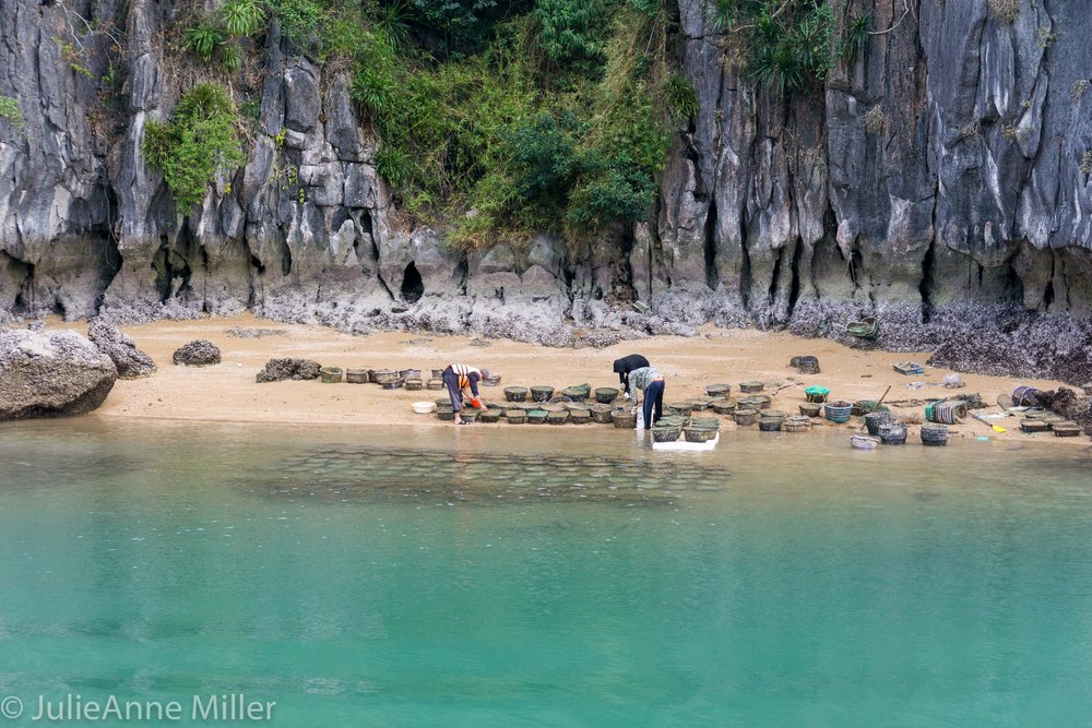 Harvesting Clams in Vietnam