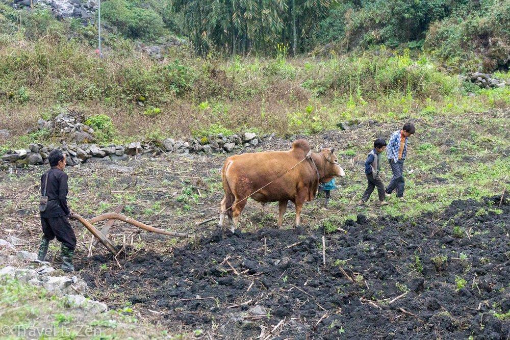 plowing fields in Ha Giang