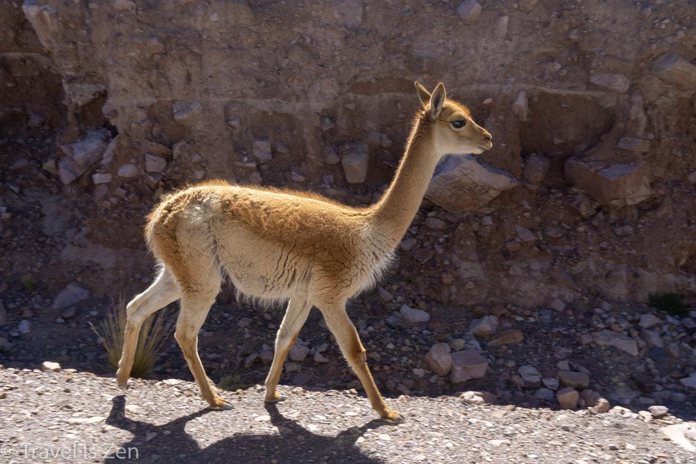 Vicuña (wild llama)