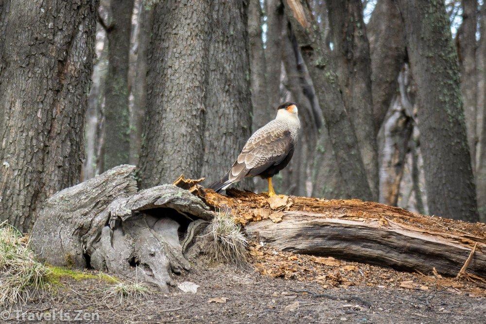 caraca bird-1.jpg