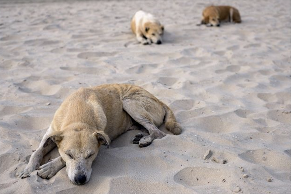 Beach dogs, The Gambia.