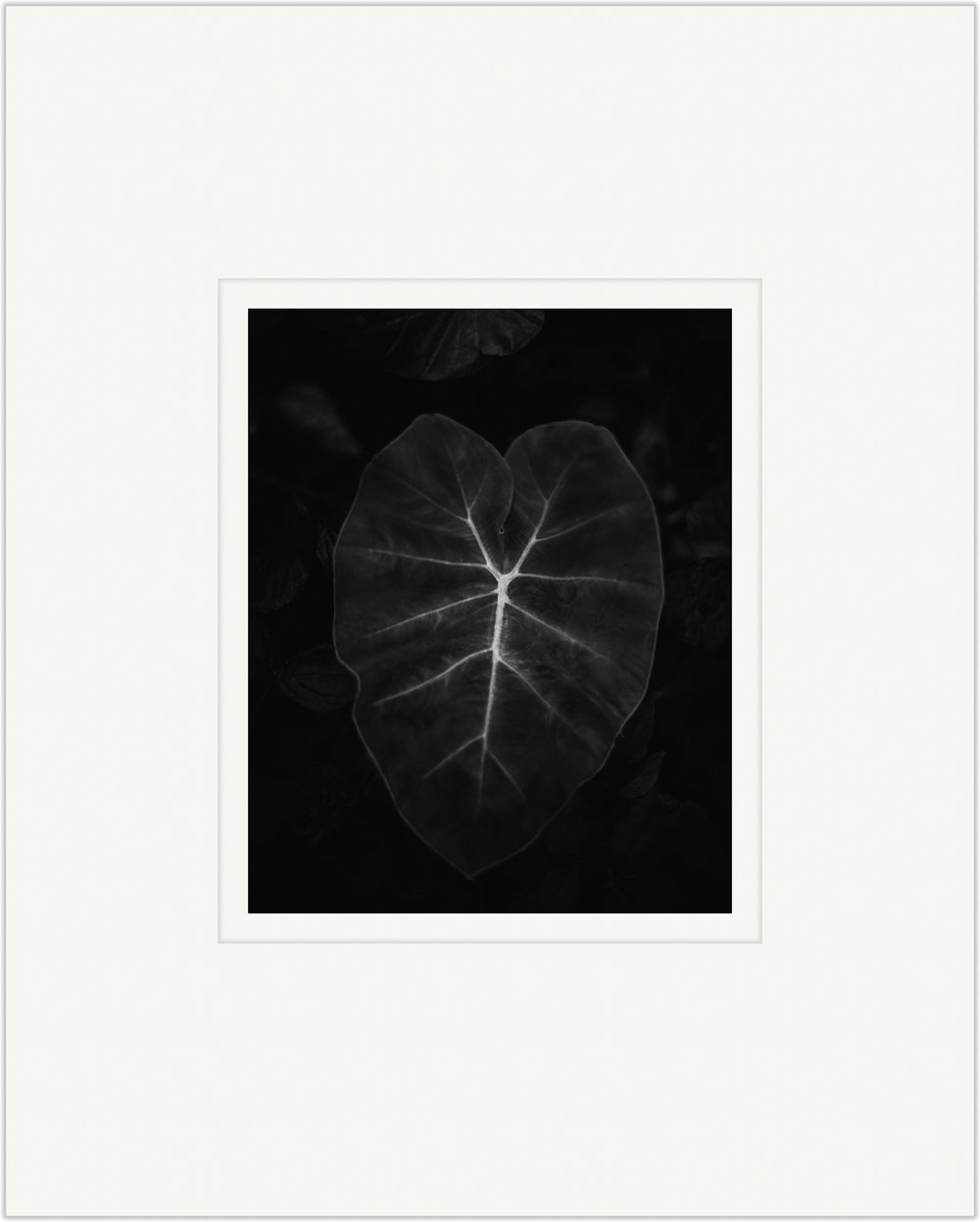 Untitled (Taro Leaf)   20cm x 25cm Photo Paper Limited Edition of 99   IDR 399,000