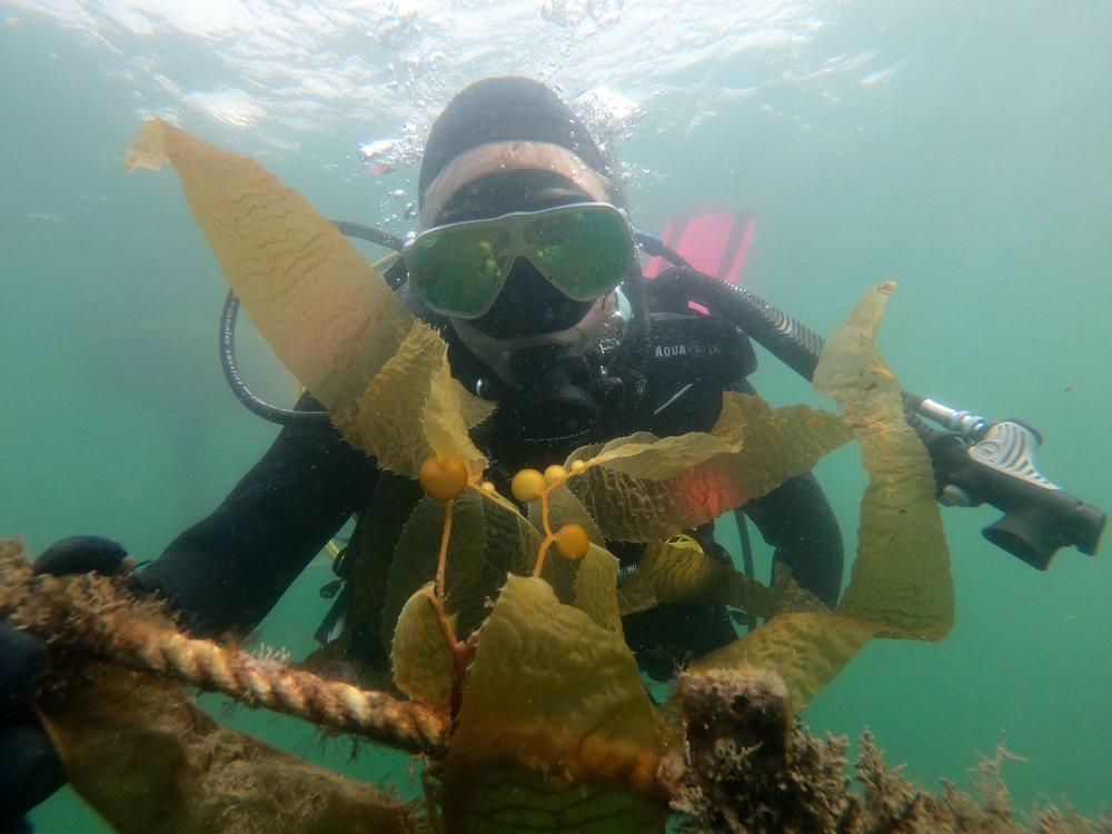 Monitoring our Giant Kelp ( Macrocystis pyrifera)  line