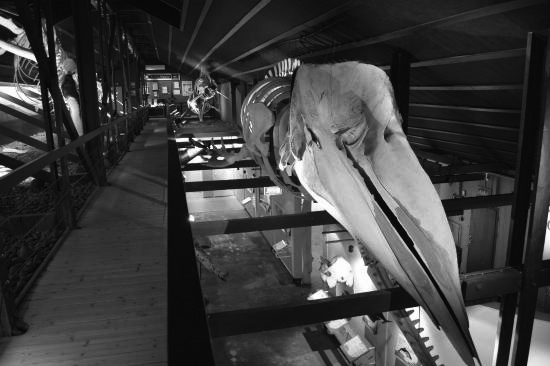 museo-husavik-whale.jpg