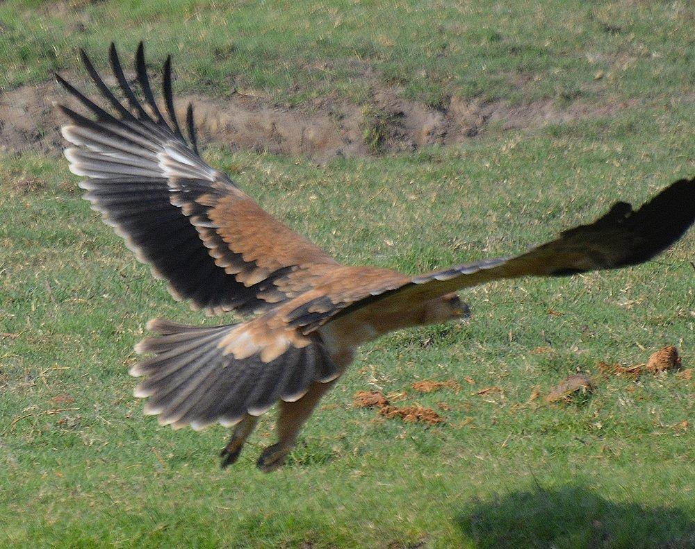 Eaglein flight.jpg