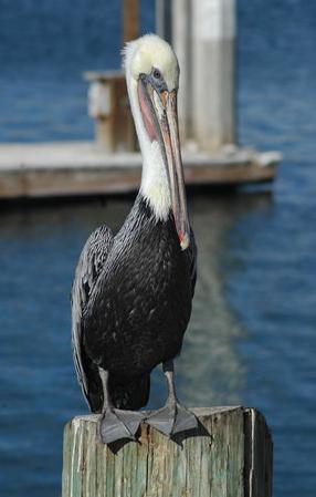 Pelican on post 1.jpg