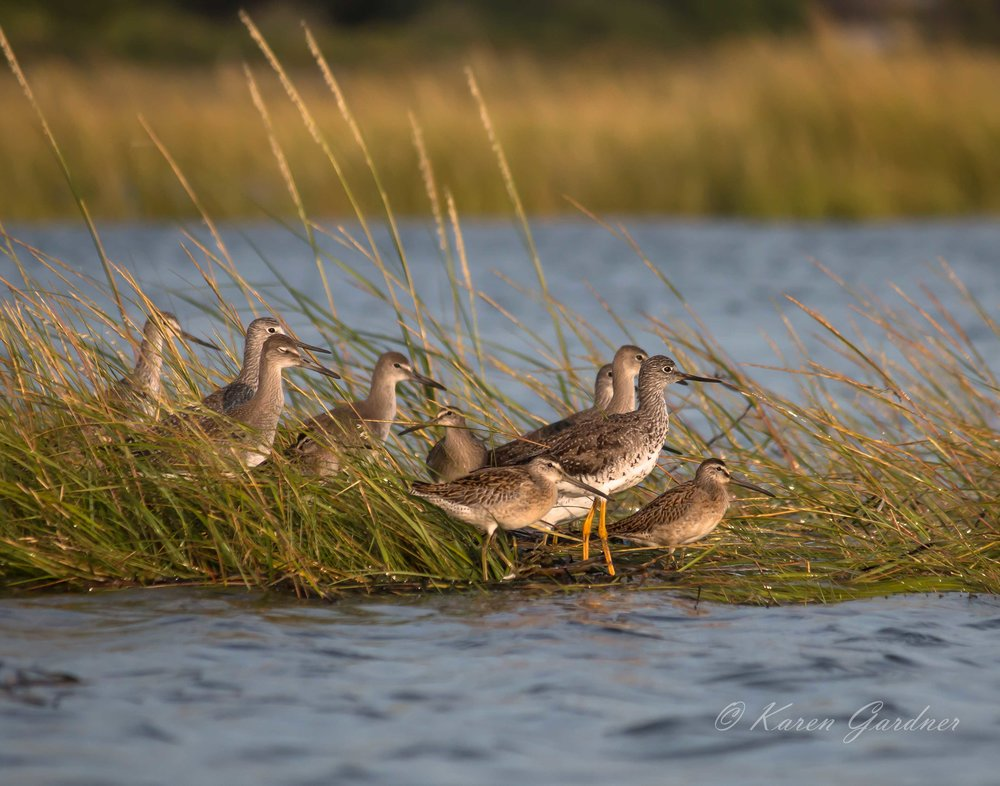Shore Birds in the Marsh