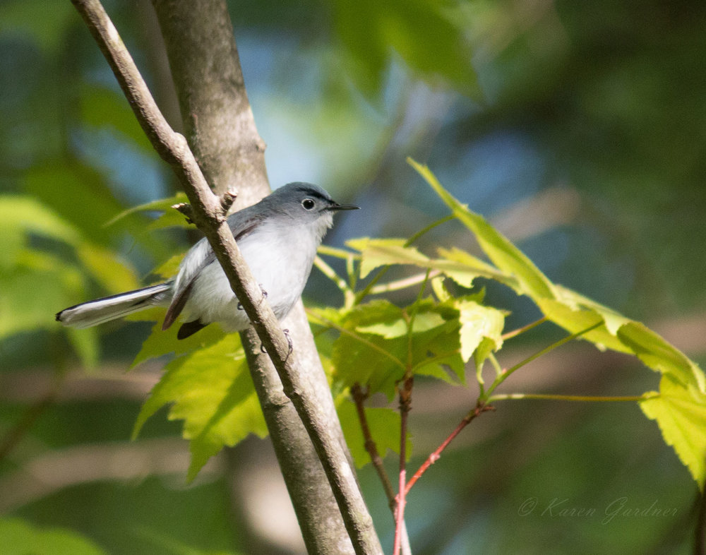 Blue-grey Gnatcatcher