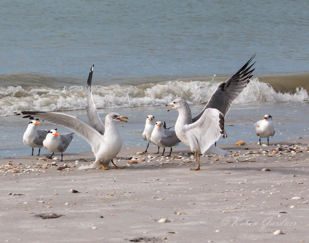 Ring-billed Gulls and Royal Terns