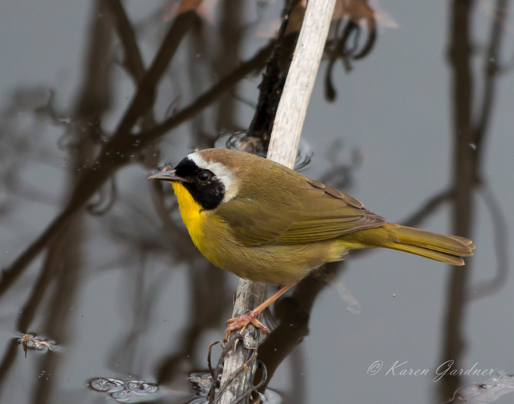 Yellow Throat