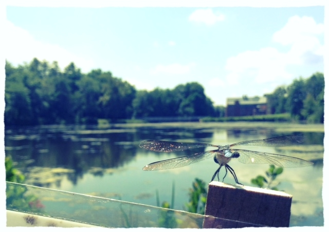 dragonfly at Lower Lake.JPG