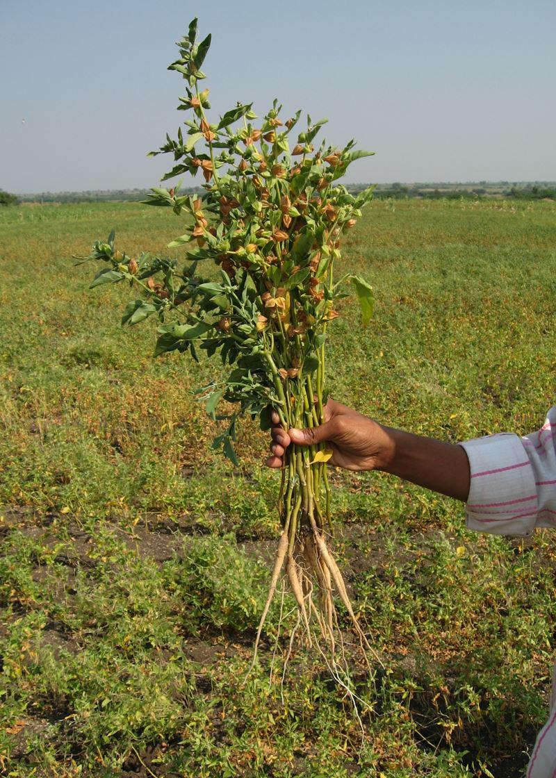 Ashwagandha - Whole Plant
