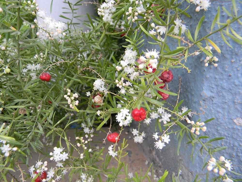 Shatavari in flower.