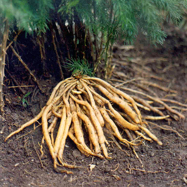 Freshly harvested roots.