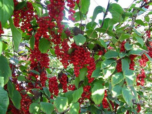 Schizandra berries on the vine.