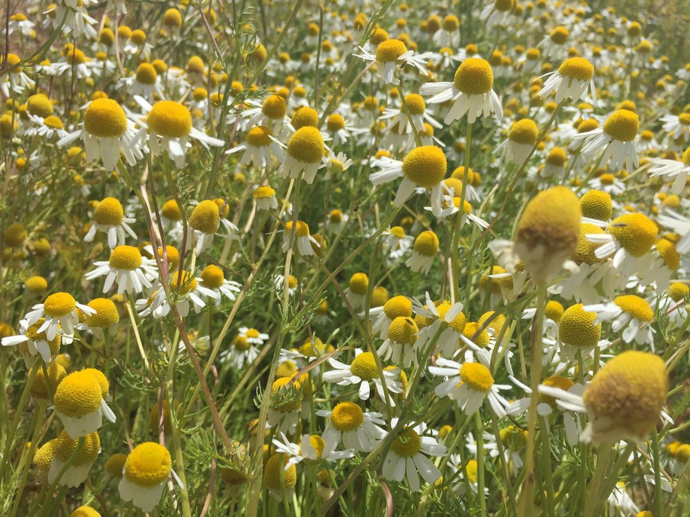 Chamomile in bloom.