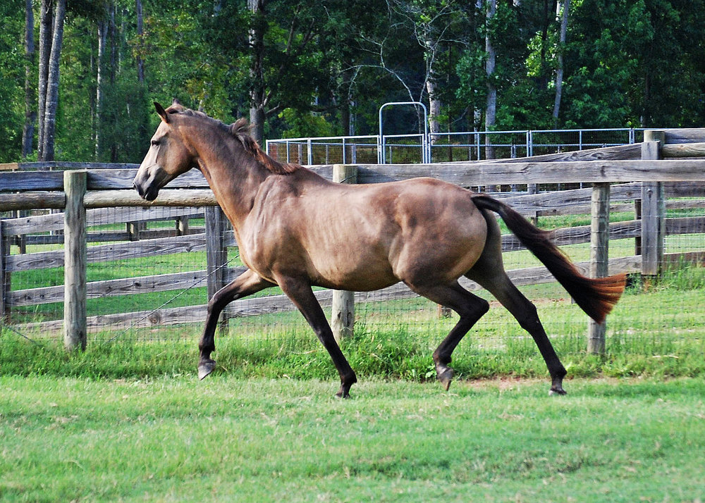 Our Foundation - We were fortunate to acquire Tippy in 2008 after she was retired from her riding career; she became the cornerstone of our breeding program.