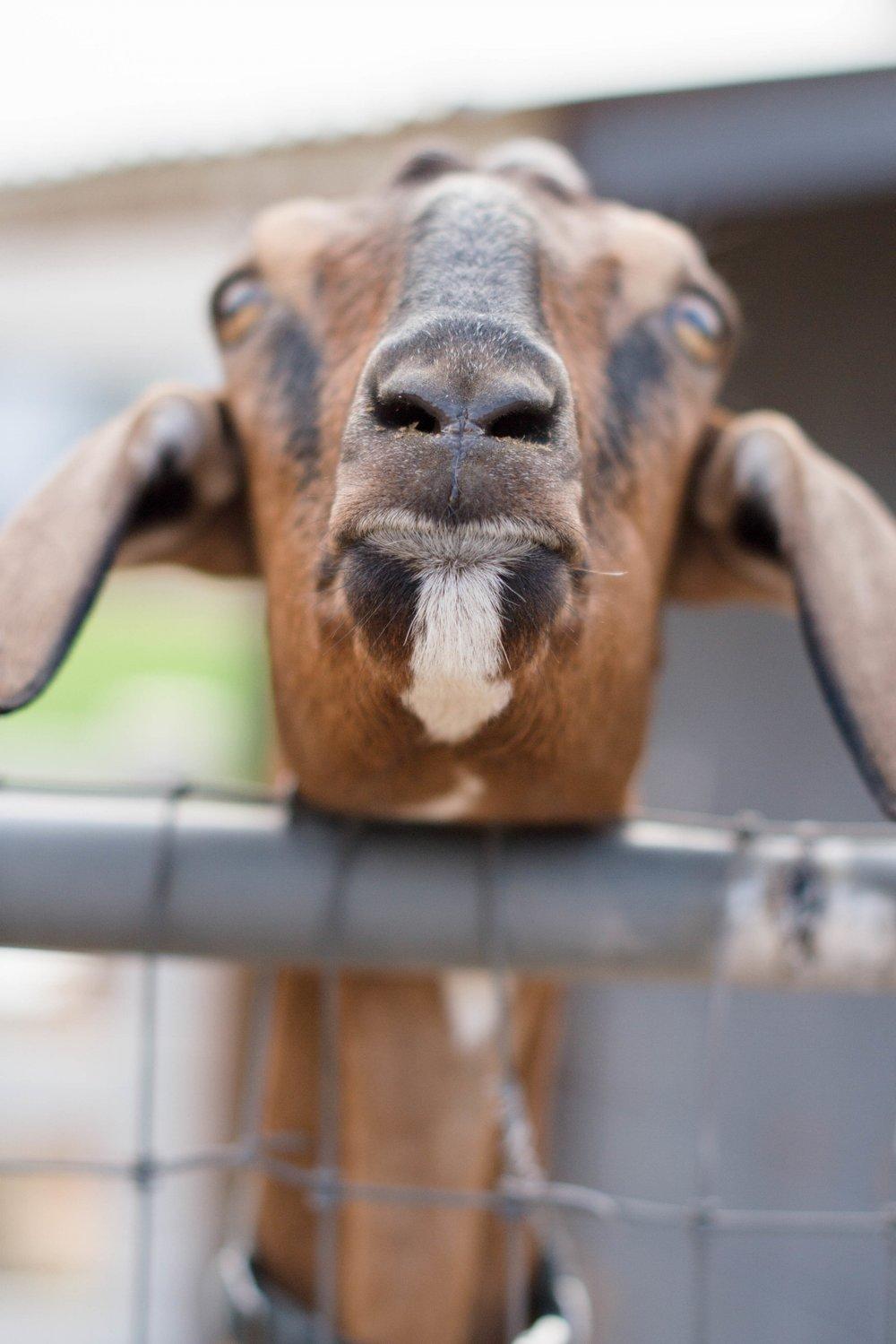 goat_farm_arizona.jpg