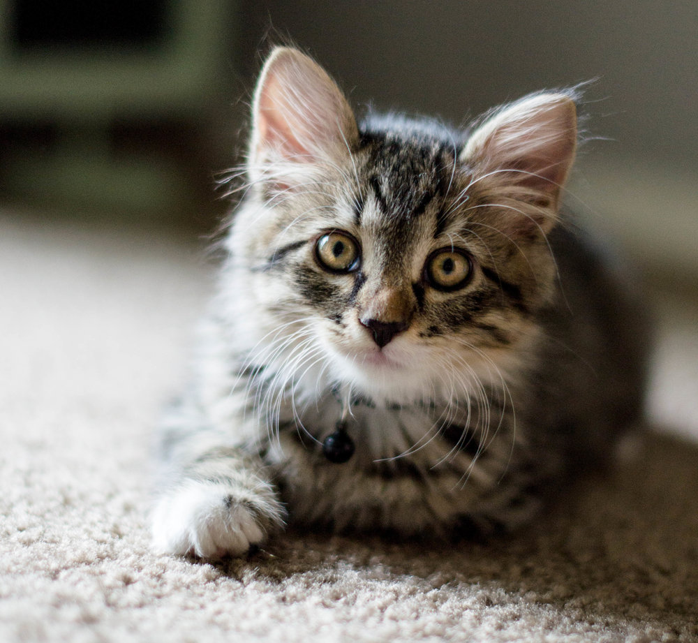 cute_kitten_longhaired1.jpg