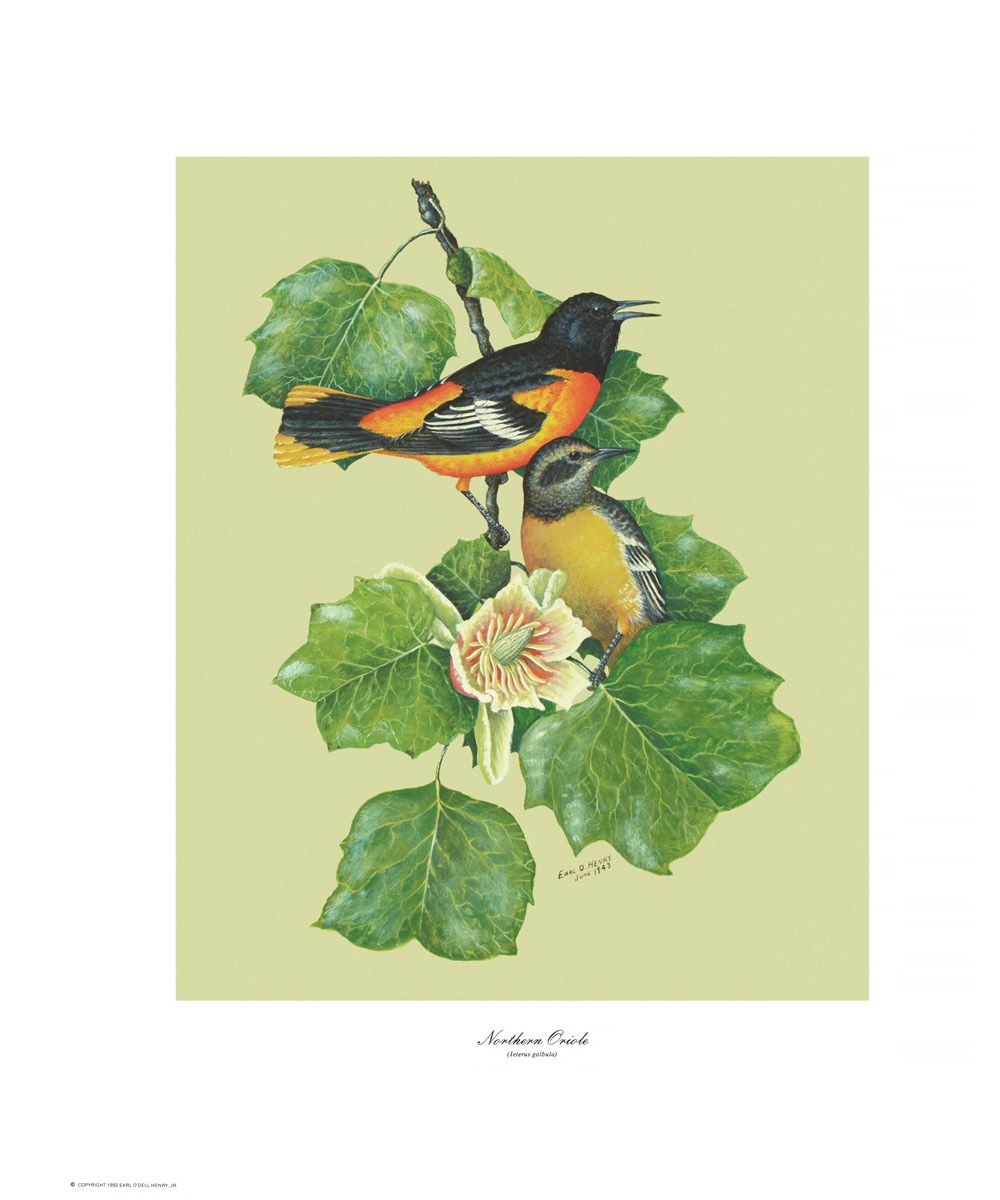 ORIOLES and OTHER SONGBIRDS