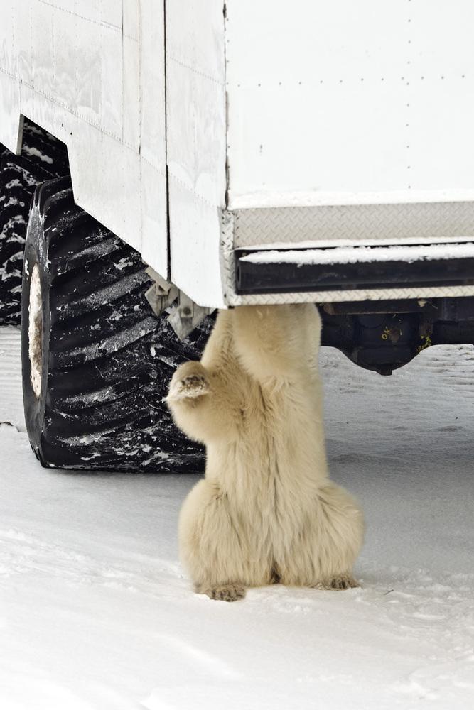 Polar_Bear_Under_Buggy.jpg