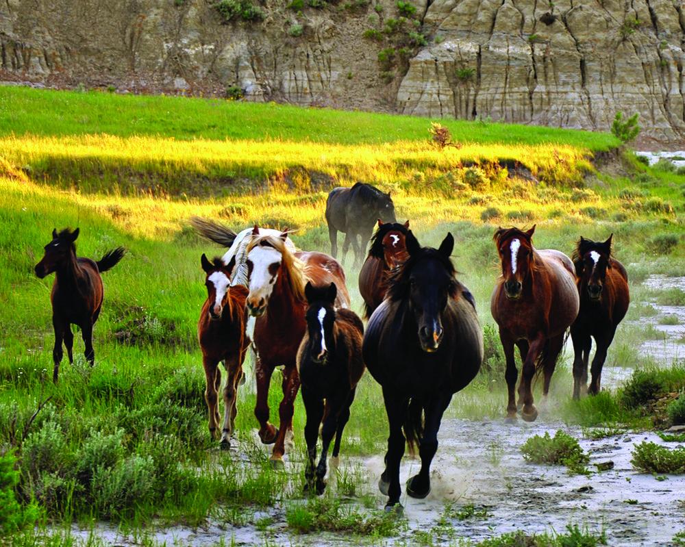 North_Dakota_Wild_Horses.jpg