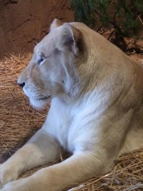 Lioness_Jamala.jpg
