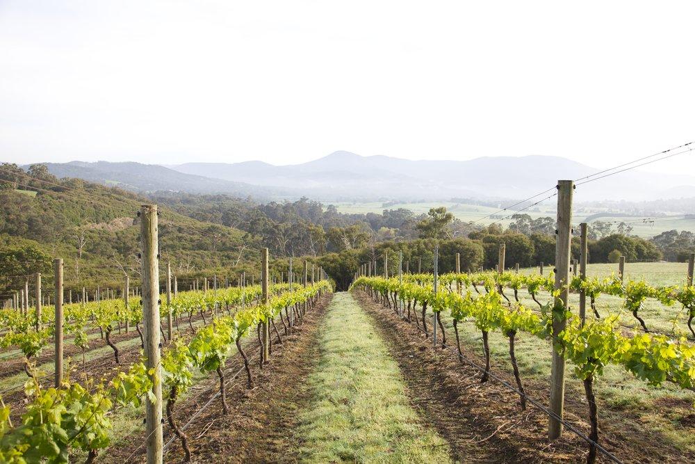 Vineyard_Levantine.jpg