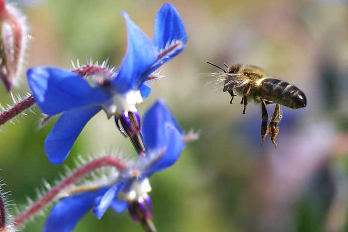 Abeja_libando_una_borraja_10_-_bee_sucking_a_borage_flower_-_abella_libant_una_borraina_(2358642371).jpg