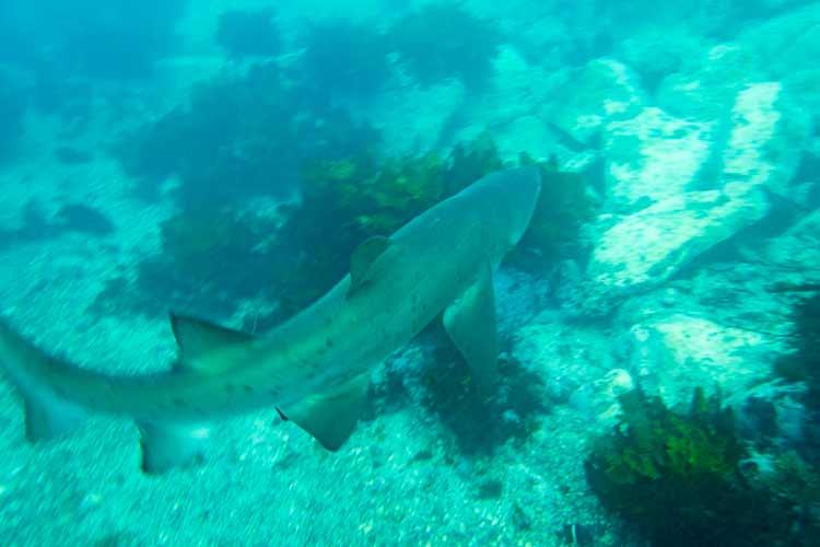Scuba+Diving_Grey+Nurse+Shark_Shellharbour+Scuba+Centre+(1).jpg