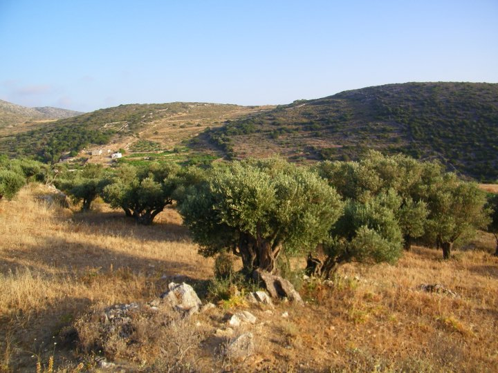 Olive trees on the island of Paros.