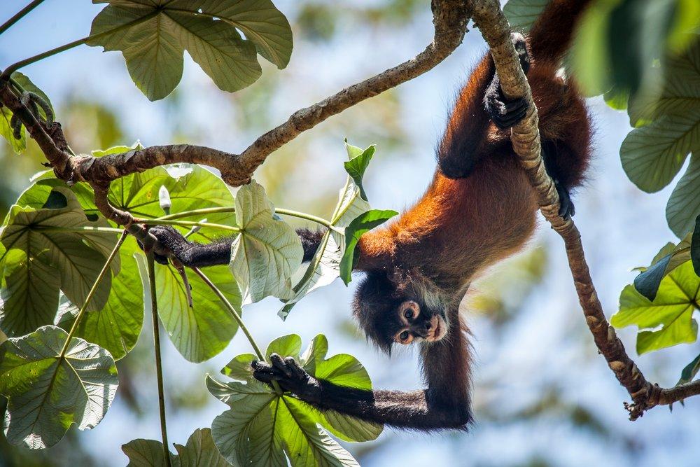 Lapa Rios howler monkey.jpg