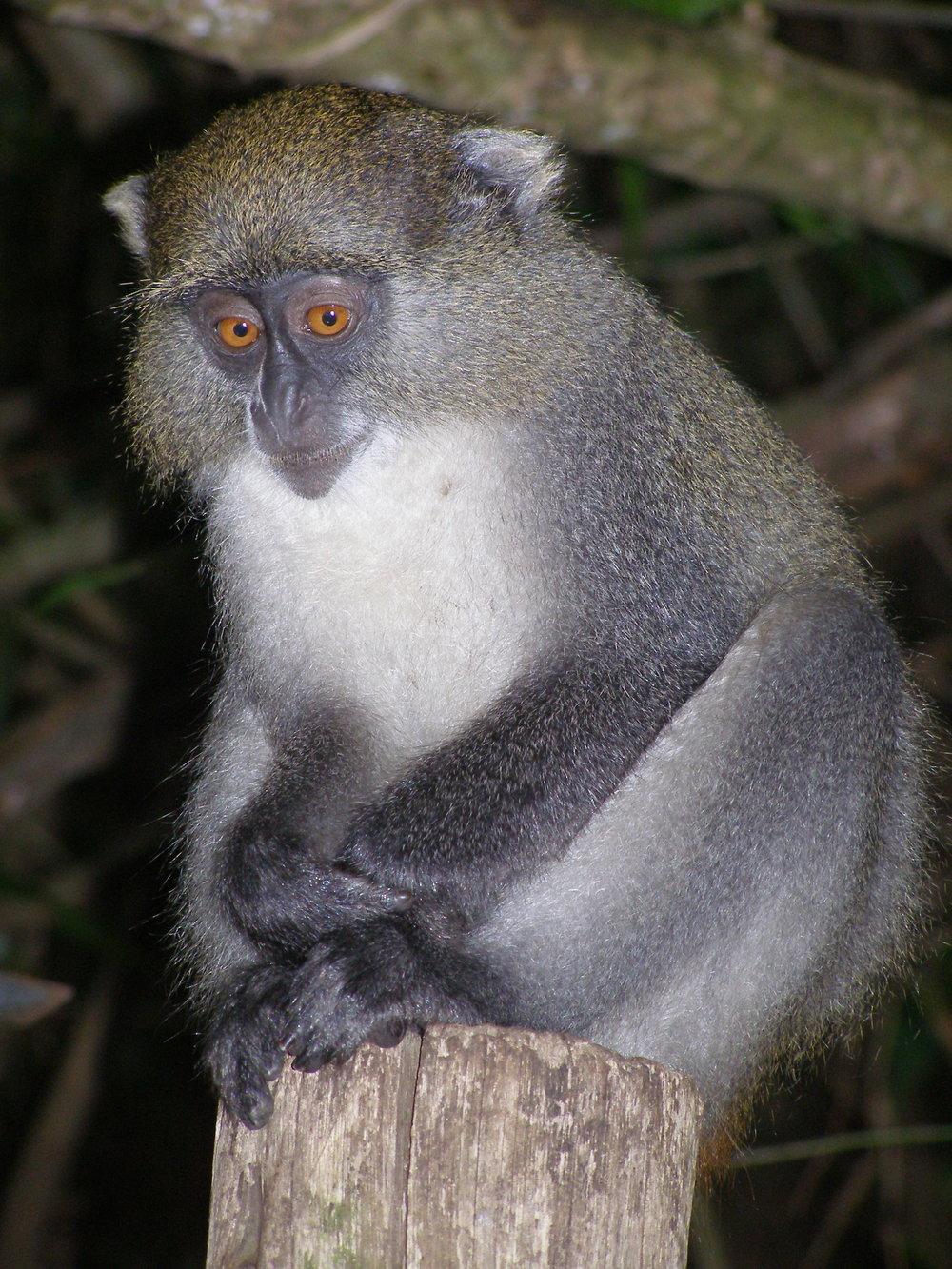 Juvenile Samango monkey ( Cercopithecus mitis erythrarchus ). Photo: M.J. Lawes
