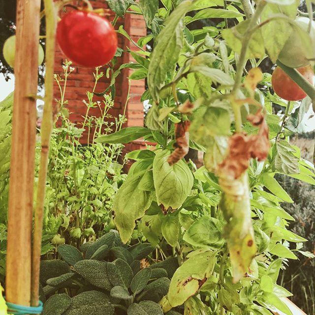 La saison d'automne approche mais la nature est là pour nous offrir le fruit de notre travail.  #hautpotager #nature #potager #growourown #doityourself #kitchengarden #farm #gardening #bio #harvest #woman #family #recolte #balcony #city