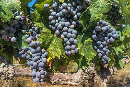 grape-1618308__340.jpg