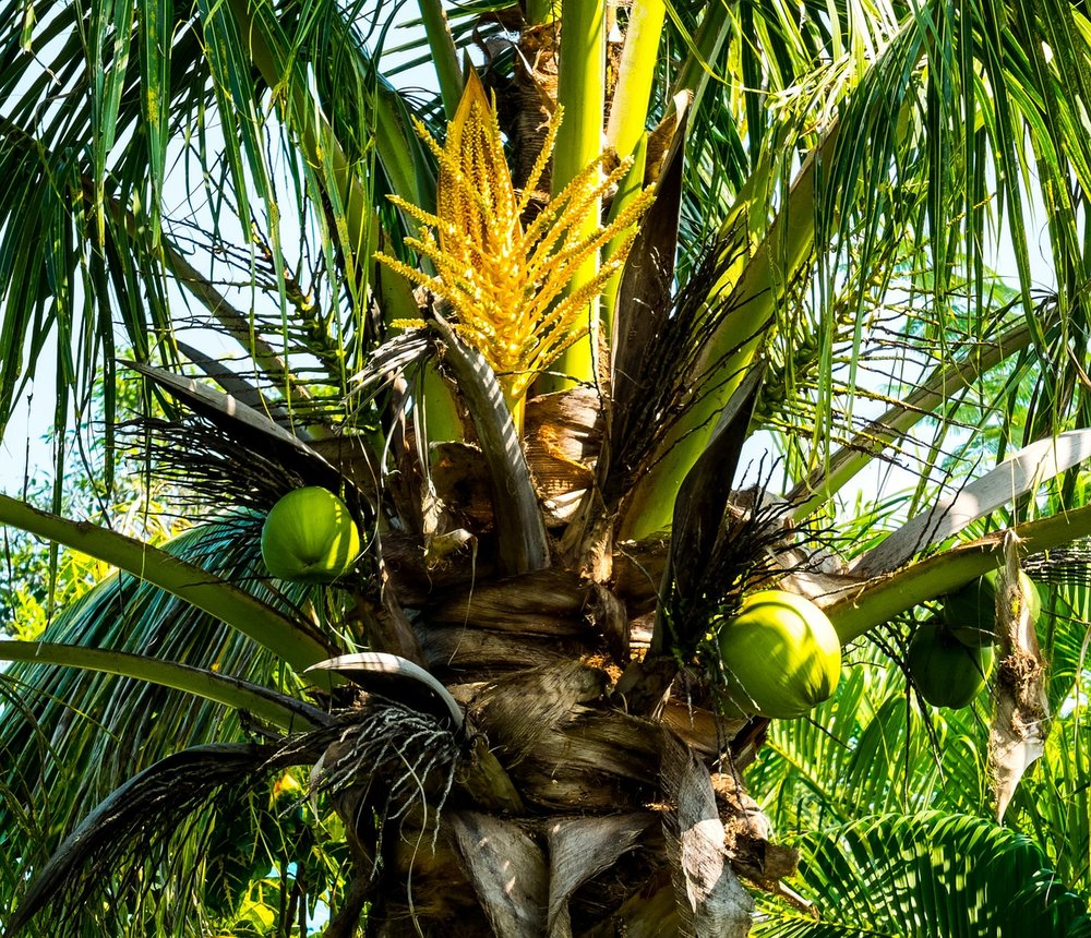Aging coconut tree with low productivity
