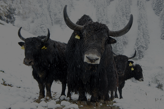 - No bull