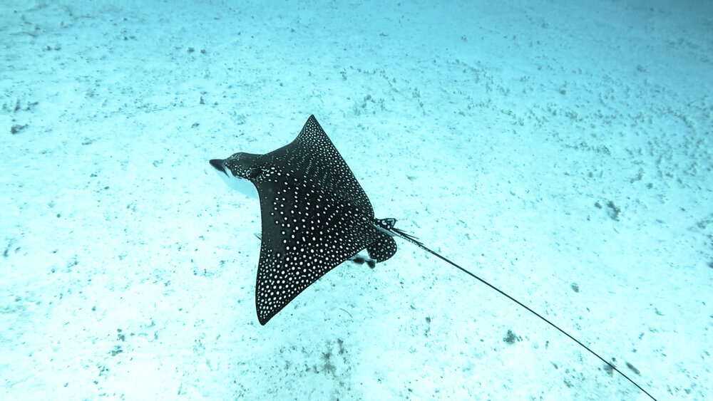 Spotted Eagle Ray found in the lagoon ©Vatuvara Foundation.JPG