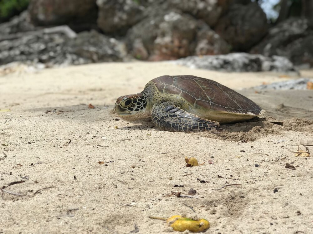 Green sea turtle returning back to the ocean after survey and tagging ©Vatuvara Foundation.jpg