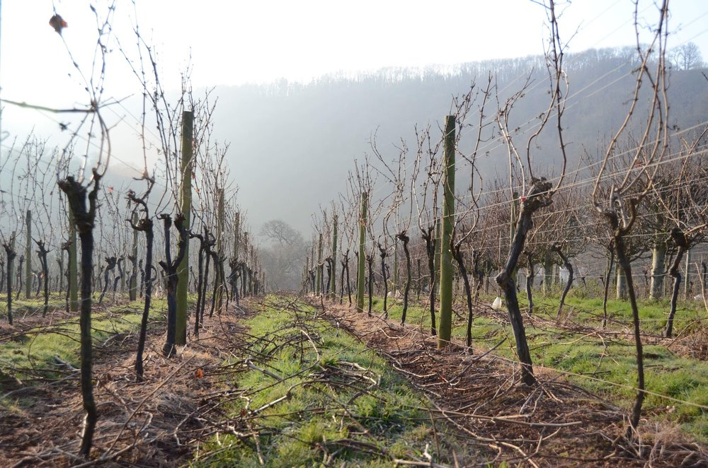 Freshly pruned vines in Devon.