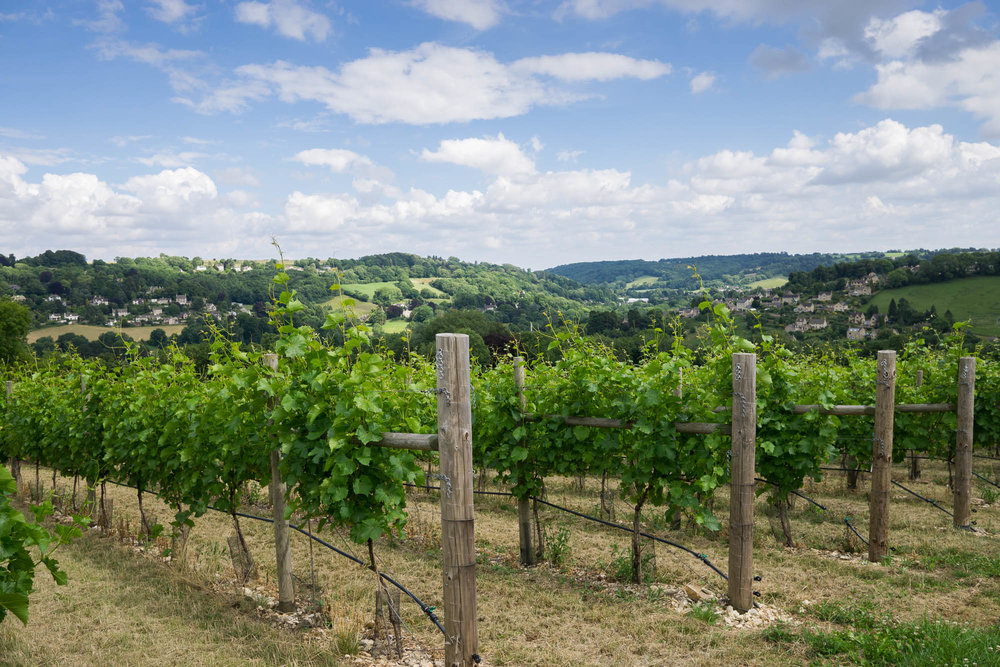 Woodchester Vineyard pic 1.jpg