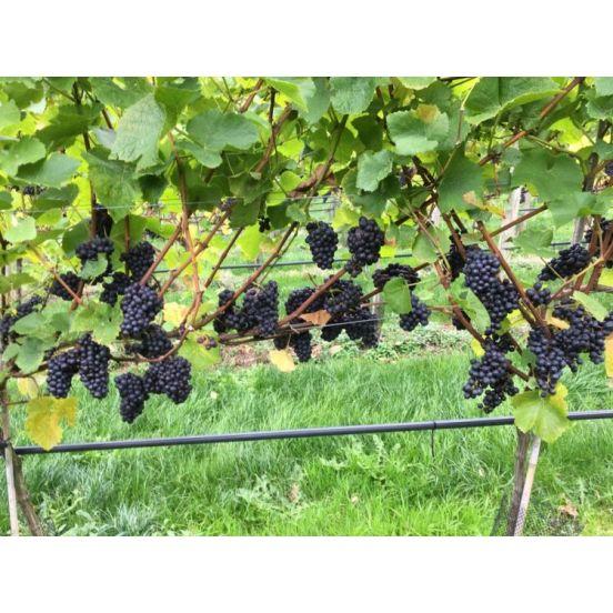 Pinot Noir-552x552.jpg