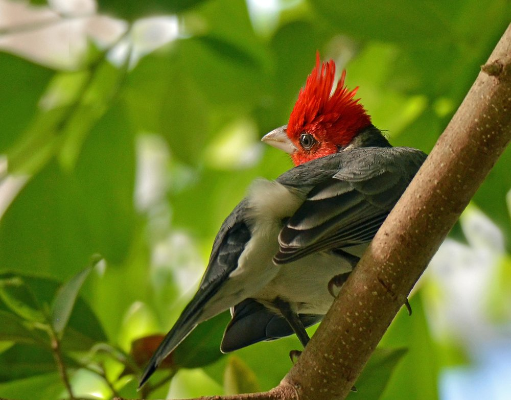 Red crested Cardinal.JPG