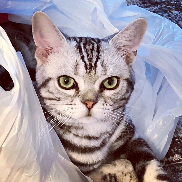 Happy 4th of July!! Enjoy to all who celebrate!  #tarotreadersofinstagram #tarot #kittens #kittensofinstagram #silvertabby #romeo