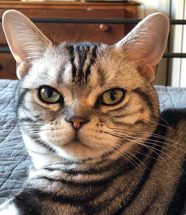 Good morning Romeo! #catsofinstagram #silvertabby #kittensofinstagram #catstagram #catloversclub #romeo