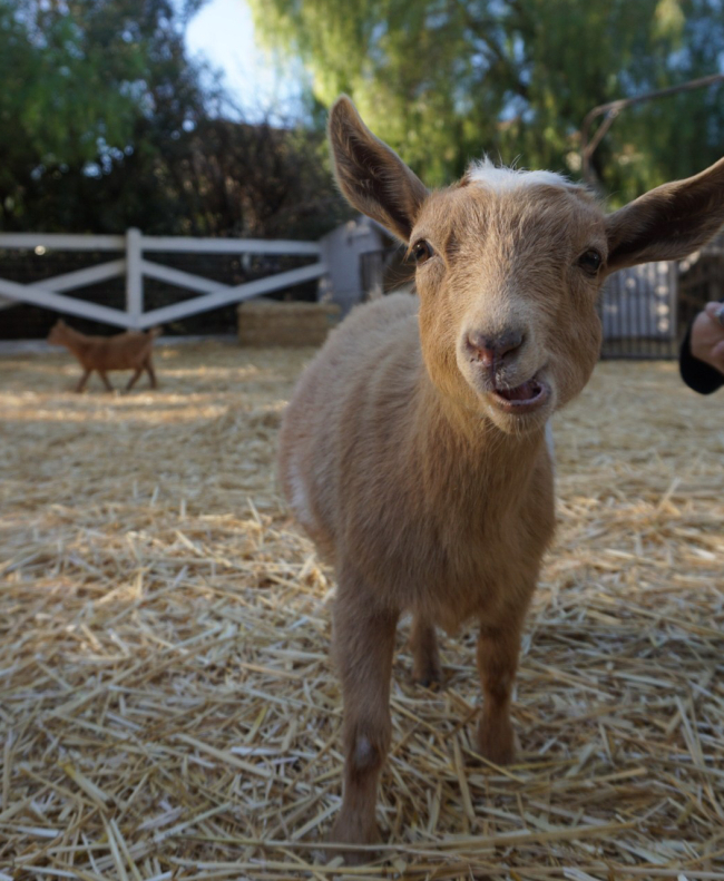 This is Kevin the goat. She is a little girl but Kevin Hart was recently visiting this farm and fell in love with her, requesting she be named after him. Oh Los Angeles, you never cease to amaze.