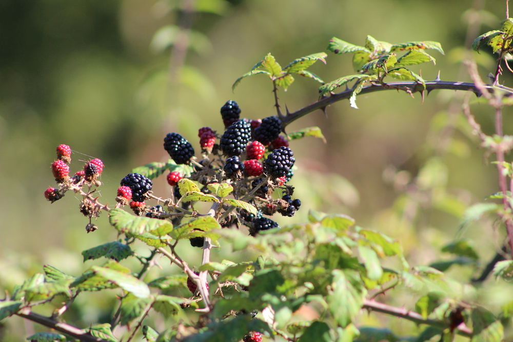 blackberries autumn farm trail