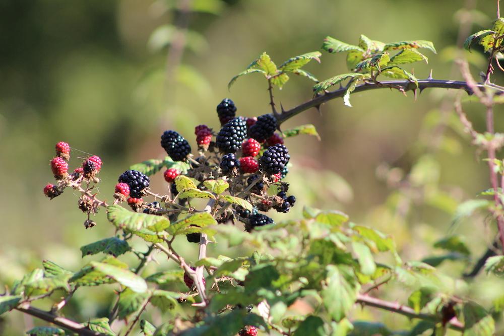 blackberries autumn farm trail