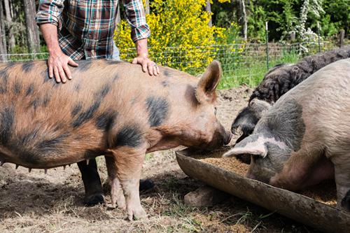 farmer feeding pigs photo